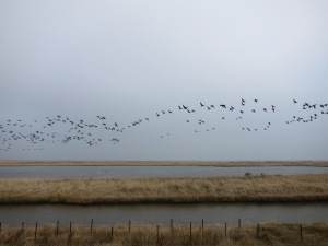 Brent Geese near Donna Nook