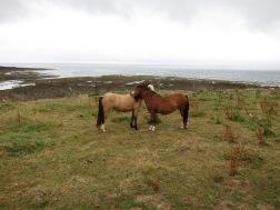 Ponies above Porth Eynon 24.7.18