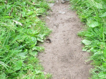 Shrew on path west of Dinbycch-y-Pysgod